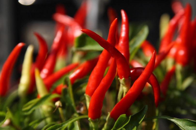 Como plantar e cultivar pimenta
