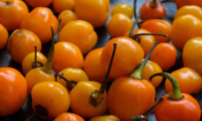 Pimenta bode (ou adjuma)
