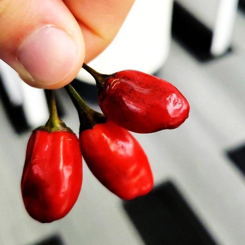 Pimenta faz mal para o fígado?