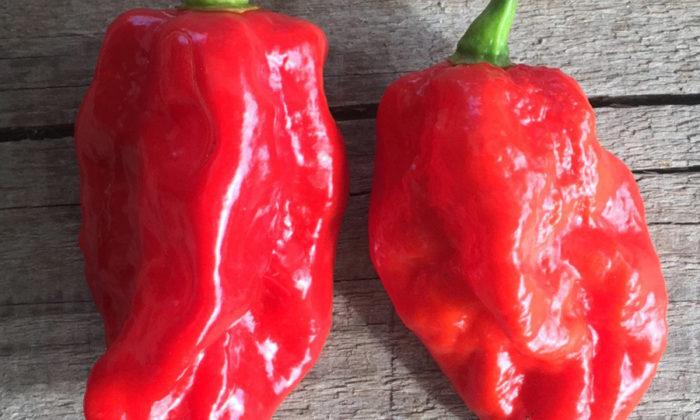 Pimenta red savina (ou savina-vermelha)